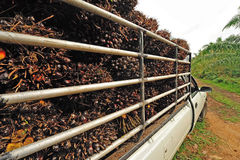 从卡车的新鲜的棕榈油果子。 免版税库存图片