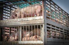 卡车运输猪 免版税库存照片