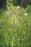 卡马斯在与跳舞彩色小灯的阳光下开花 库存照片