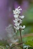 卡维的紫堇属 库存照片