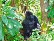 卢旺达的山地大猩猩 库存照片