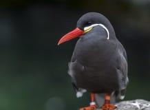 印加人燕鸥,栖息在岩石 免版税库存照片