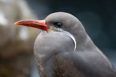 印加人燕鸥(Larosterna印加人) 免版税库存图片