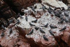 印加人燕鸥Larosterna在岩石的印加人鸟群  图库摄影