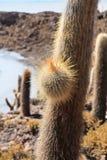 印加瓦西峰仙人掌 库存照片