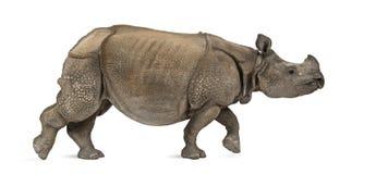 印地安一有角的犀牛 库存照片