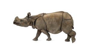 印地安一有角的犀牛 免版税库存图片