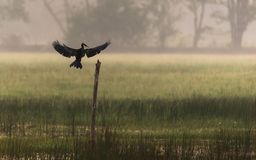 印地安东方突进者美洲蛇鸟melanogaster 库存图片