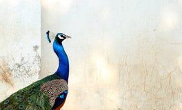 印地安五颜六色的孔雀鸟-印度的全国鸟 免版税库存图片