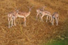 印地安亲爱的动物 图库摄影