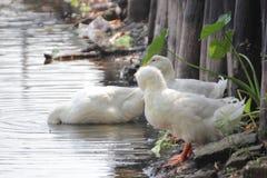 印地安人共同性鹅 免版税库存图片