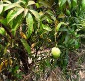 印地安人在芒果树-印度的Mangifera的亚尔方索芒果 库存图片