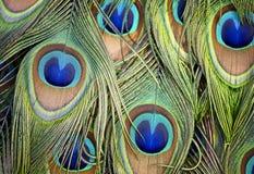 印地安人孔雀的羽毛的摘要 库存照片