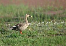 印地安人斑点开帐单的鸭子 免版税图库摄影