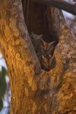 印地安人红角鹗, Otus bakkamoena, Tipeshwar野生生物保护区,马哈拉施特拉 免版税库存图片
