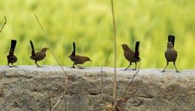 印地安人罗宾鸟在墙壁上栖息有光滑的绿色背景 库存图片