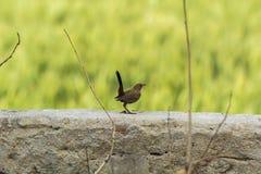 印地安人罗宾鸟在墙壁上栖息有光滑的绿色背景 库存照片