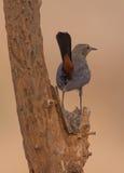 印地安人被栖息的罗宾鸟 库存照片