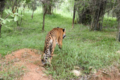 印地安人走在森林里的孟加拉老虎 库存照片