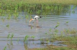 印地安人寻找食物的马拉布在浅湖 斯里南卡 免版税库存图片