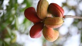 印地安人Ayurveda加有药物的果子特写镜头 影视素材