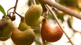 印地安人Ayurveda加有药物的果子 股票视频