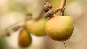 印地安人Ayurveda加有药物的果子 影视素材