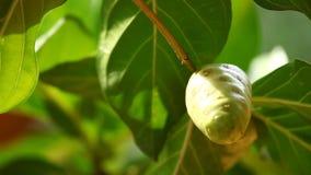印地安人Ayurveda加有药物的果树 股票录像