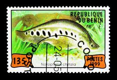 印地安人Featherback (Notopterus chitala),鱼serie,大约199 免版税库存照片