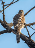 印地安人Shikra鸟 库存图片