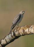 印地安人Shikra鸟 免版税库存图片