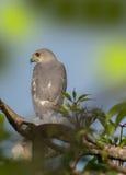 印地安人Shikra鸟 免版税库存照片