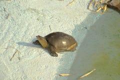 印地安人Softshell乌龟 免版税库存图片