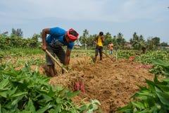 印地安农民收获白薯 印度,卡纳塔克邦, Gokarna,春天2017年 库存图片