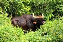 印地安北美野牛(GAUR) 库存图片