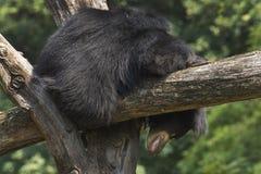 印地安印度的一种长毛熊 库存图片