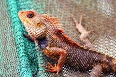印地安变色蜥蜴 免版税库存照片
