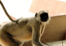 印地安叶猴猴子2 免版税库存照片
