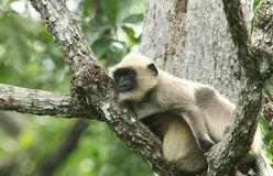印地安叶猴-14 库存照片