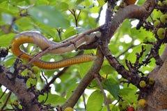 印地安吃鼠的蛇, dhaman,在无花果树,浦那,马哈拉施特拉的Ptyas黏膜 库存图片