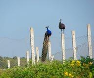 印地安孔雀和Peahen -夫妇 免版税库存图片