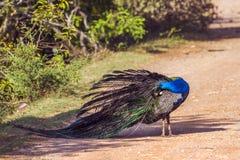 印地安孔雀在Bundala国家公园,斯里兰卡 免版税库存图片