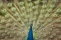 印地安孔雀或蓝色孔雀 免版税库存照片