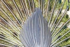 印地安孔雀的羽毛 免版税库存照片