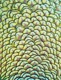 印地安孔雀的羽毛 免版税库存图片