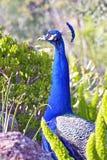 印地安孔雀的画象 库存图片