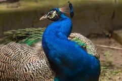 印地安孔雀鸟特写镜头画象射击了与充满活力的颜色全身羽毛 免版税库存照片