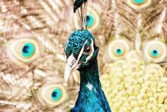 印地安孔雀-孔雀座cristatus -公孔雀,黄色过滤器 免版税库存图片