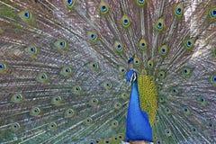 印地安孔雀 库存图片