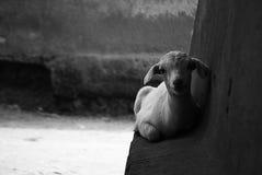 印地安山羊 免版税图库摄影